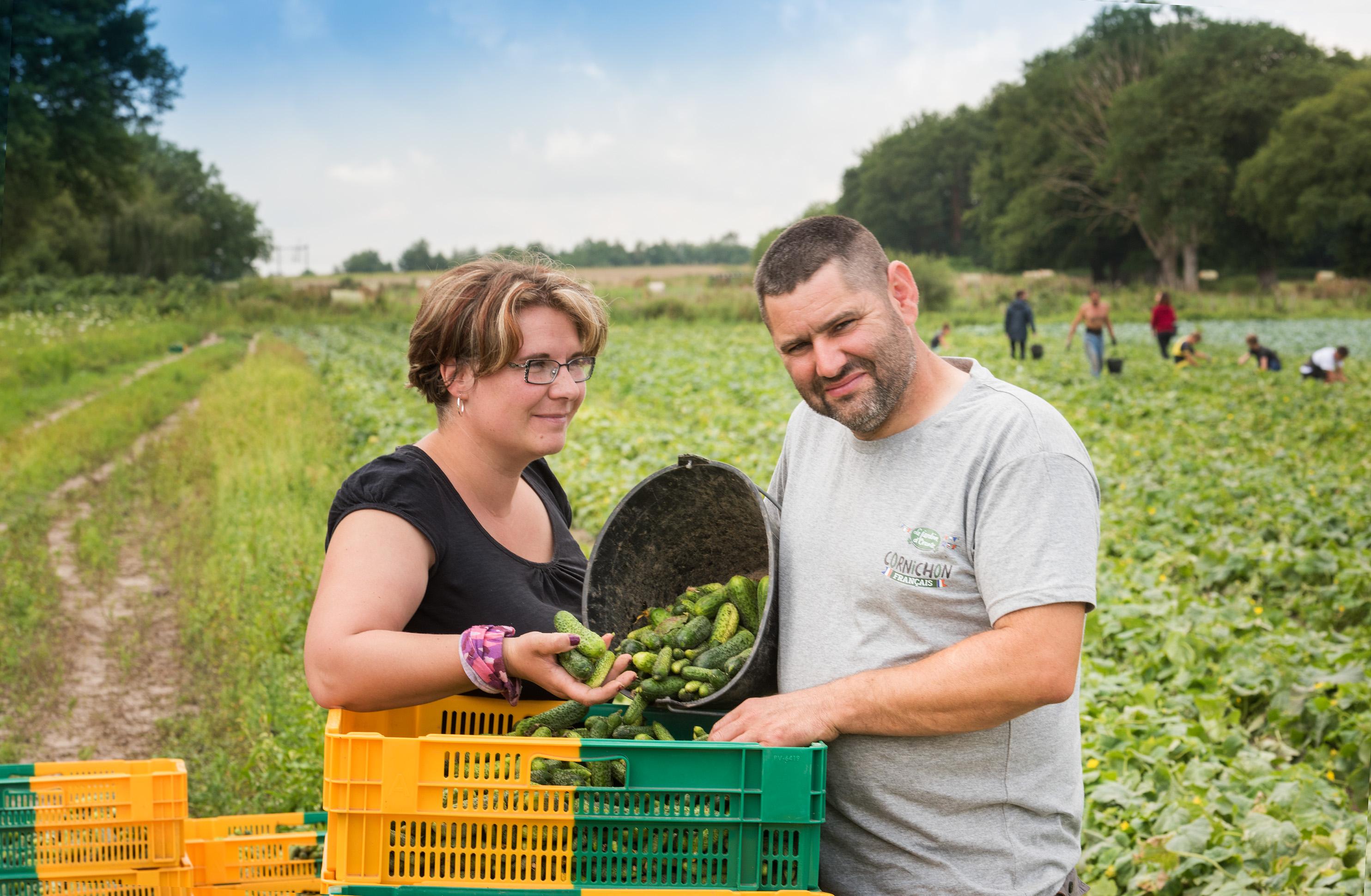 Cornichon Français Le Jardin d'Orante récolté dans la Sarthe